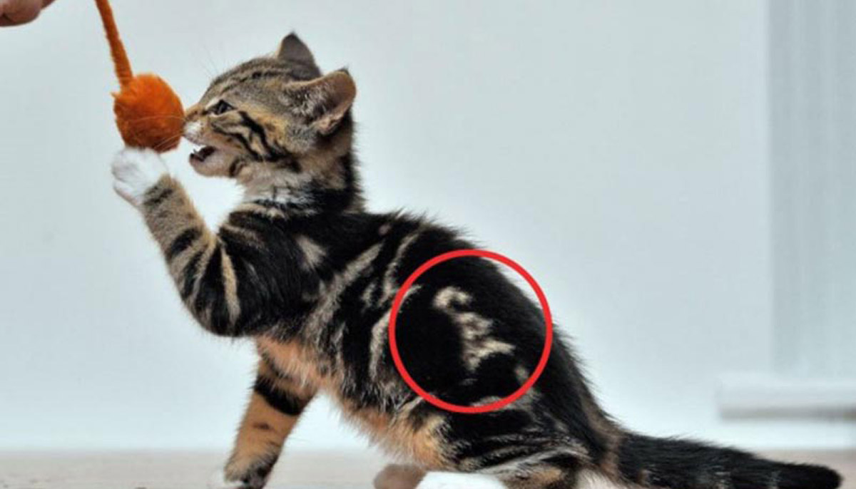 "A kitten with a unique marking on his back that spells the word ""cat"" plays with a toy."
